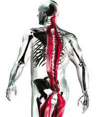 Le squelette humain de dos.